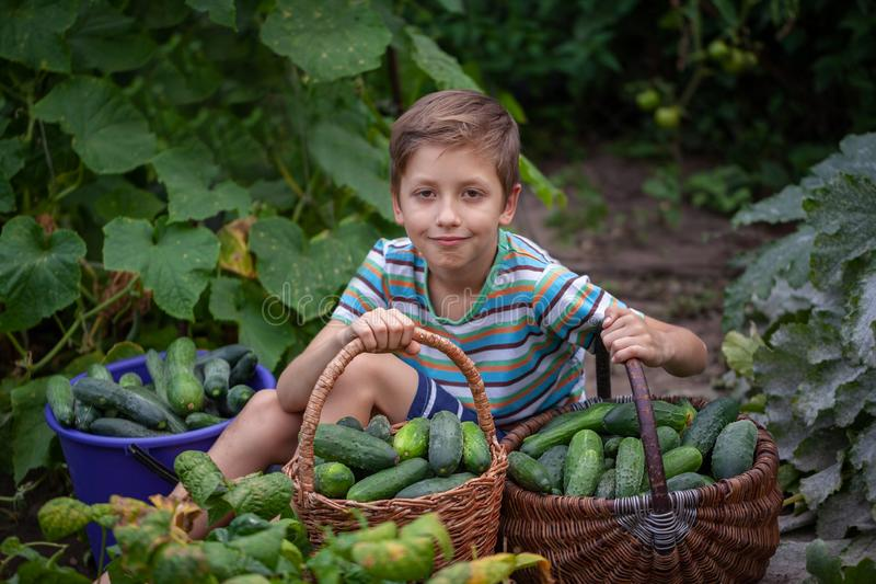 Child picks a cucumbers from the garden during harvesting in the home garden. Healthy eating concept for children royalty free stock photos