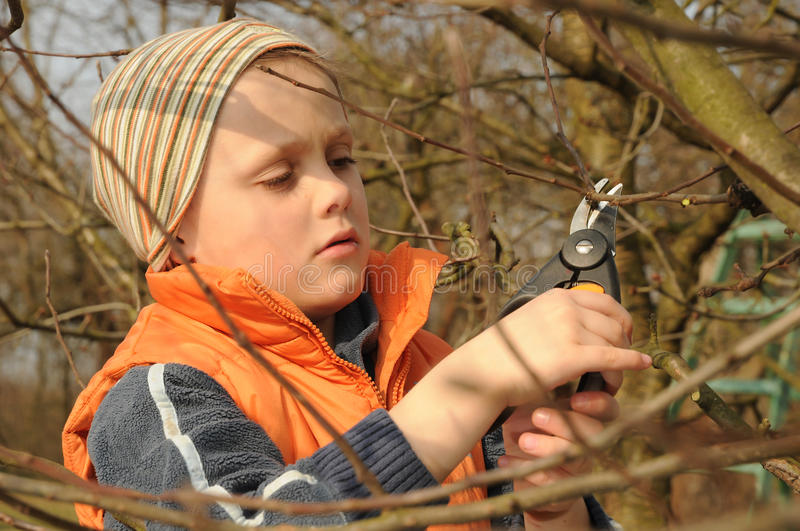 Child pruning tree. Young child cutting tree with pruning shears stock image