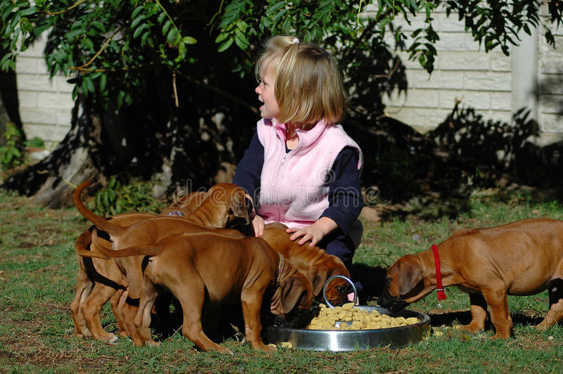 Child with puppies. A cute little Caucasian toddler with happy smiling facial expression helping to feed a litter of purebred Rhodesian Ridgeback puppies royalty free stock photo
