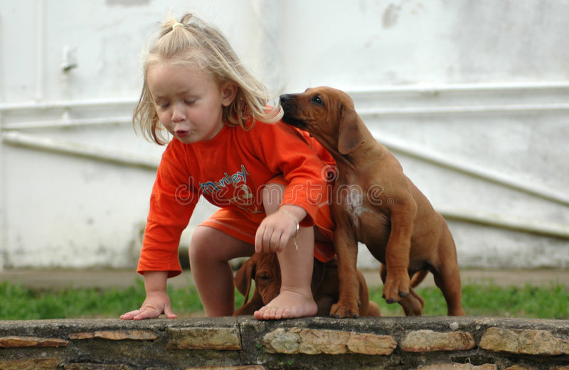 Child and puppy pet. An actice little girl toddler child playing with her best friend, a Rhodesian Ridgeback dog pet. The puppy animal is pulling her hair. That'