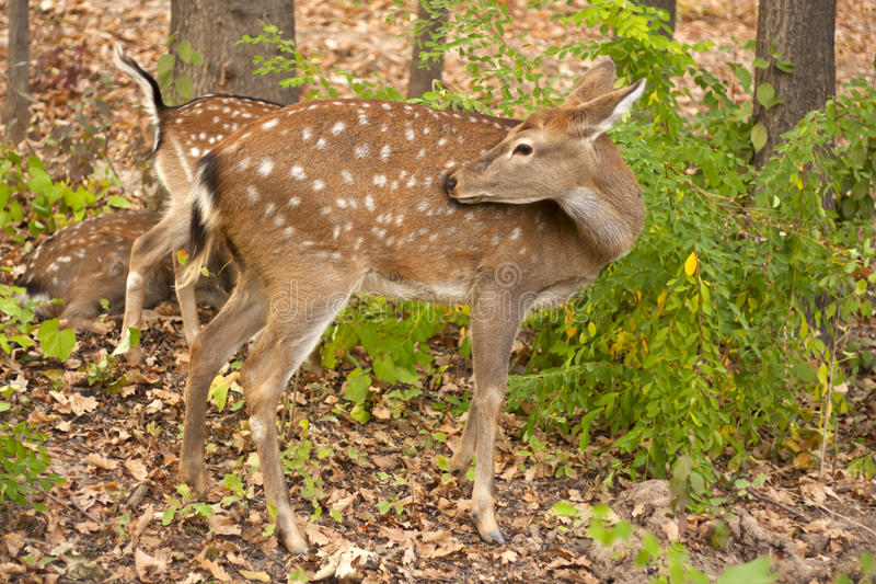 Child of the red deer in wood stock photo