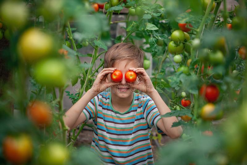 Child with ripe red tomatoes in the greenhouse. Concept healthy eating vegetables for kids stock photos