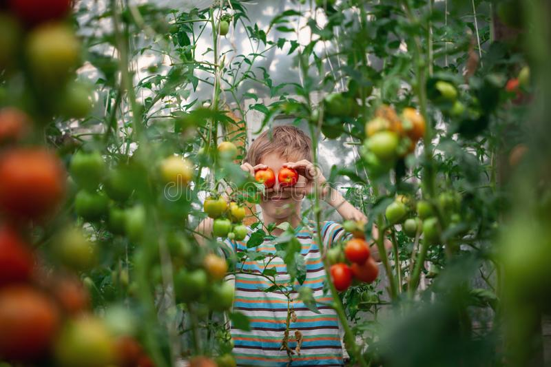 Child with ripe red tomatoes in the greenhouse. Concept healthy eating vegetables for kids royalty free stock photos