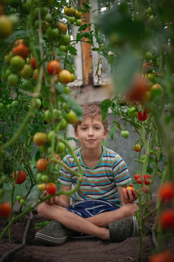 Child with ripe red tomatoes in the greenhouse. Concept healthy eating vegetables for kids royalty free stock photography