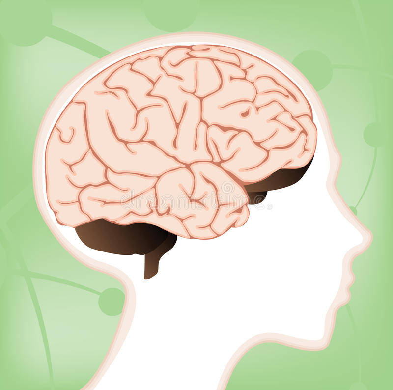 Child's Brain Diagram. A brain diagram within a child's head with lobes and sections separated on layers for ease of editing stock illustration