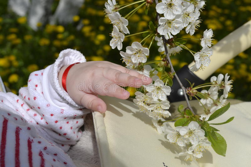 Child's hand with apple blossom stock images
