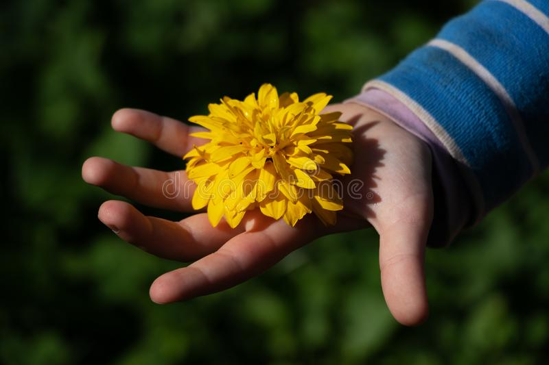 Child`s hand holding a yellow flower royalty free stock images