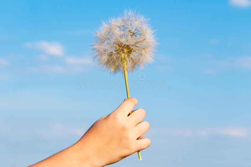 Child`s hand holds a big dandelion against the blue sky stock photo