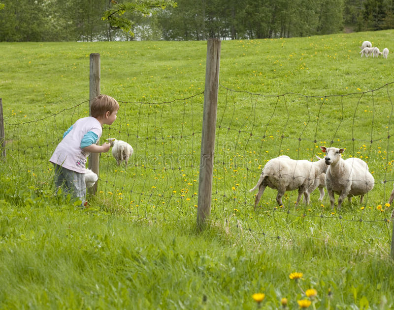 Child sheep watching royalty free stock photography