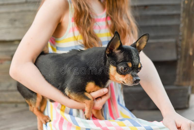 The child spending time with her pet. Little girl with chihuahua dog on the background of a wooden backdrop. Portrait of pretty small girl with pet. The child royalty free stock photography