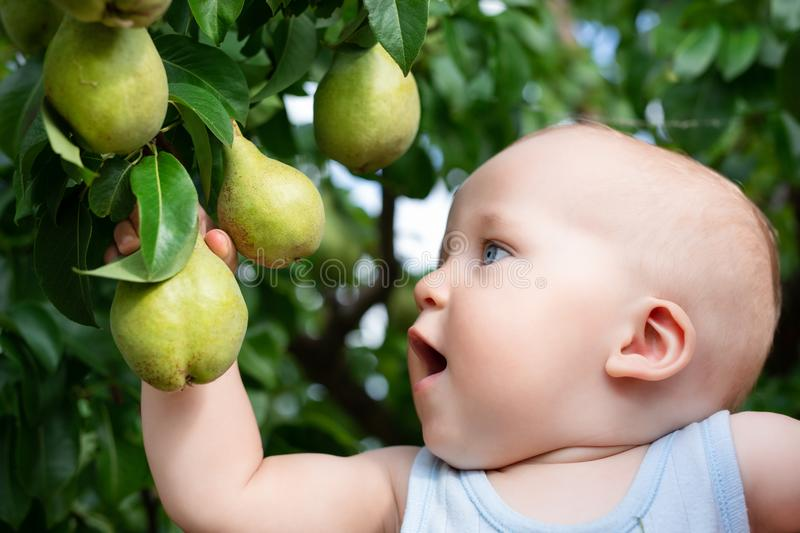 Child taking ripe pears at orchard in autumn. Little boy wanting to eat sweet fruit from tree in garden at fall harvest. Infant and baby food concept. Healthy stock image