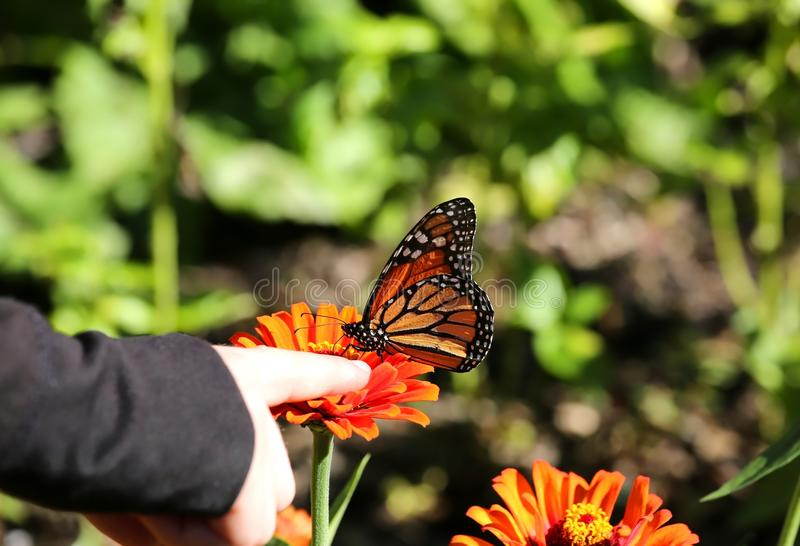 Child holds her finger right next to a monarch butterfly stock image
