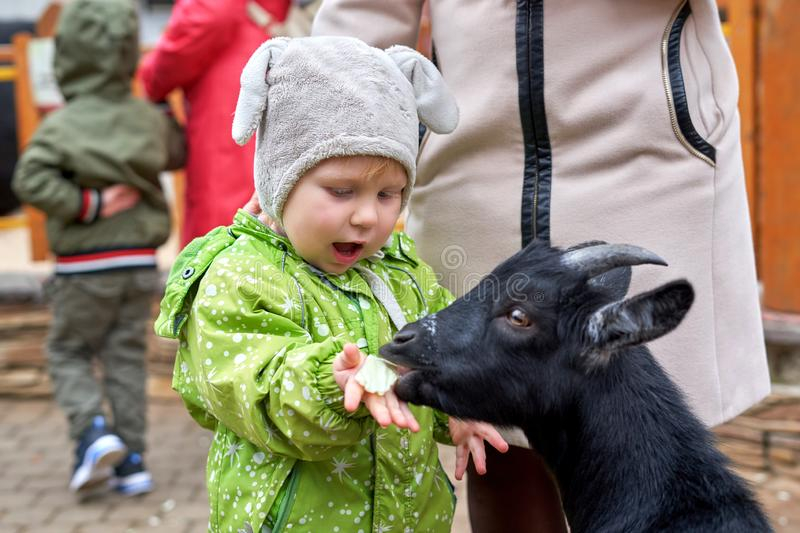 A child of two or three years old feeds a black goat from the hands at the zoo royalty free stock image