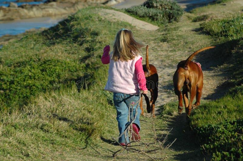Child walking dogs stock photo