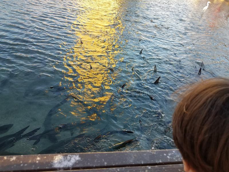 Child watching pelicans, white crane, and tarpon fish in La Guancha in Ponce, Puerto Rico. Child watching pelicans, tall white crane, and tarpon fish in the stock photos