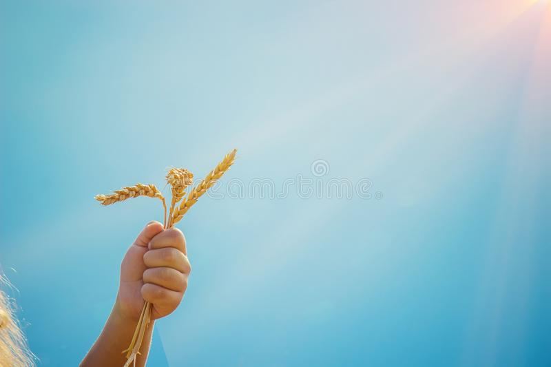 Child in a wheat field. royalty free stock photo