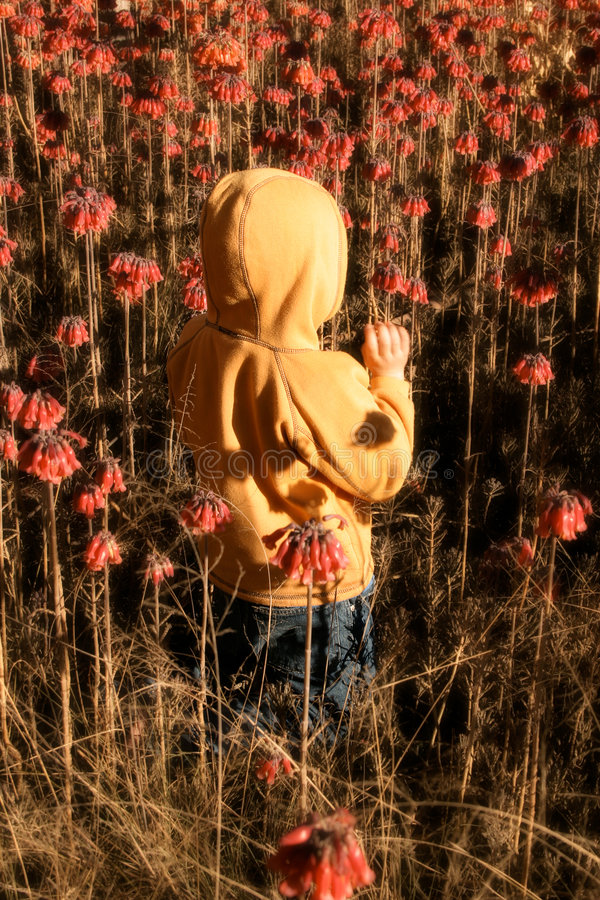 Child in wildflowers. Child in flowering bushland picking flowers. Bushes have been softened stock photos