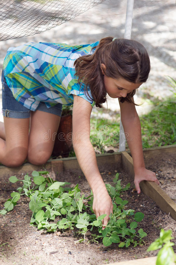 Child working in veggie patch. Young girl doing some gardening in her veggie patch stock photography