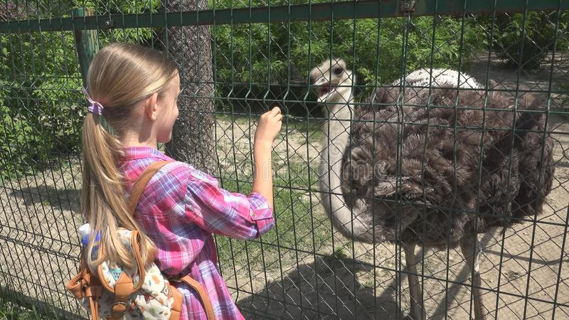 Child in Zoo Park, Girl Feeding Ostrich, Kids Love Nursing Animals, Pets Care.  royalty free stock image