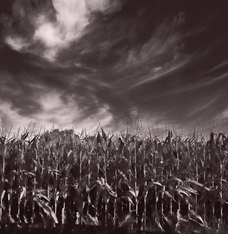 Childless Corn Grown in Middle Illinois royalty free stock image