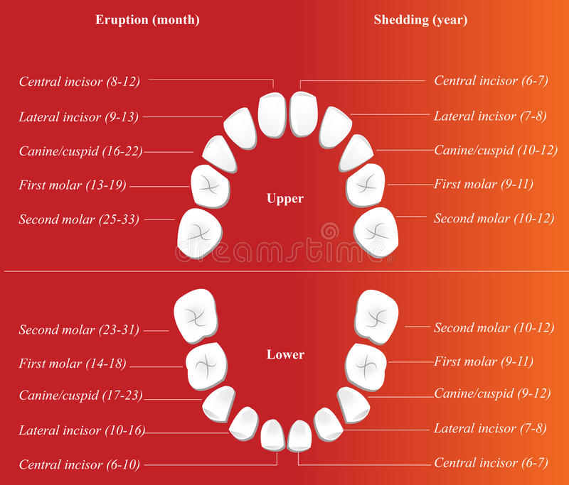 Download Children dental chart stock vector. Image of biology - 17254550