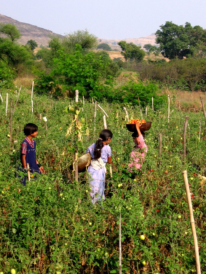 Children at Farm. Children pick up fresh tomatoes at a farm in India stock photos