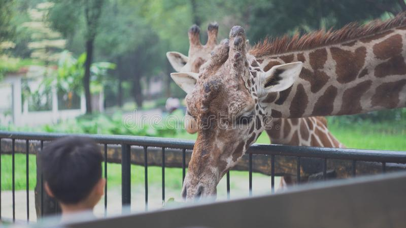 Children feed giraffes with leaves at zoo. Media. Beautiful cute giraffes eat vegetable food with hands of children stock images