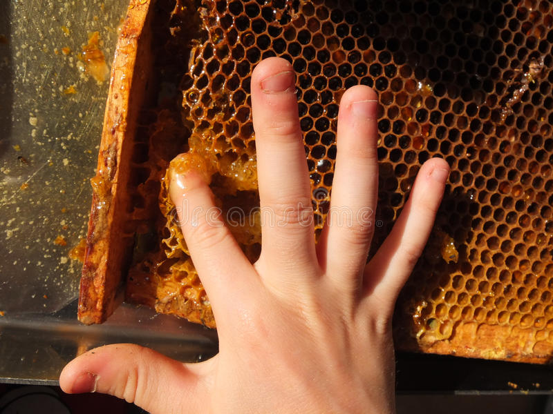 Children hand and honeycomb full of sweet honey. Honeycomb full of sweet honey from flowers hexagon structure degustation royalty free stock photo