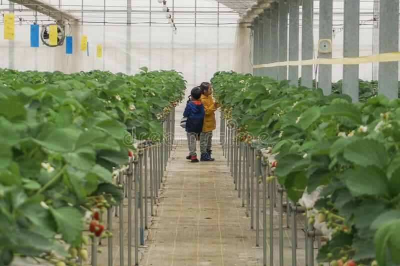 Children havesting fresh strawberry in an hydrophonics farm stock photography