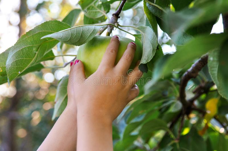 Children`s hands reach to pluck a green Apple from a branch. In the setting sun. Bluer. stock images