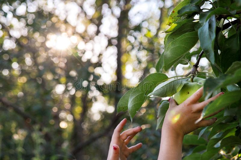 Children`s hands reach to pluck a green Apple from a branch. In the setting sun. Bluer. stock image