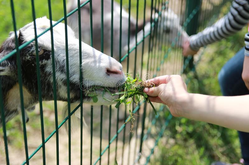 Children feed goats in the zoo. Children`s joy children feed goats in the zoo stock photography
