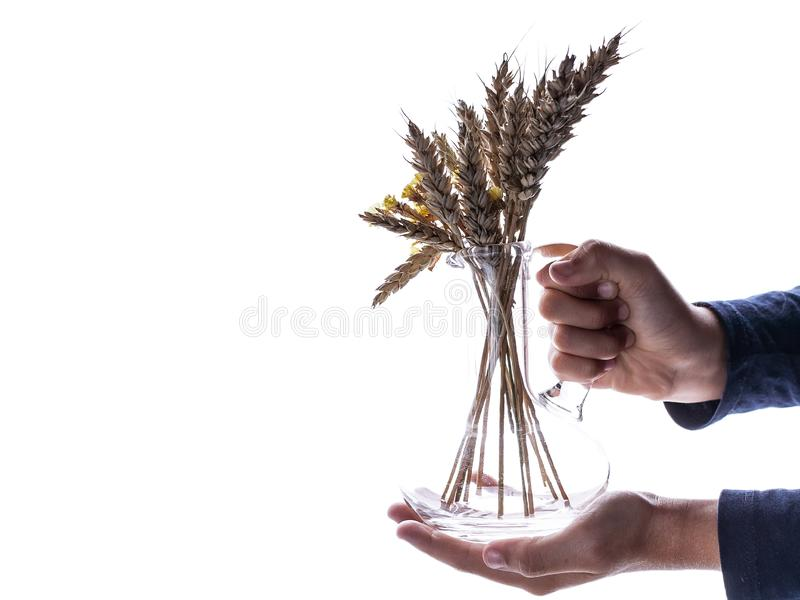 Childrens hands hold wheat ears isolated on the white background stock images