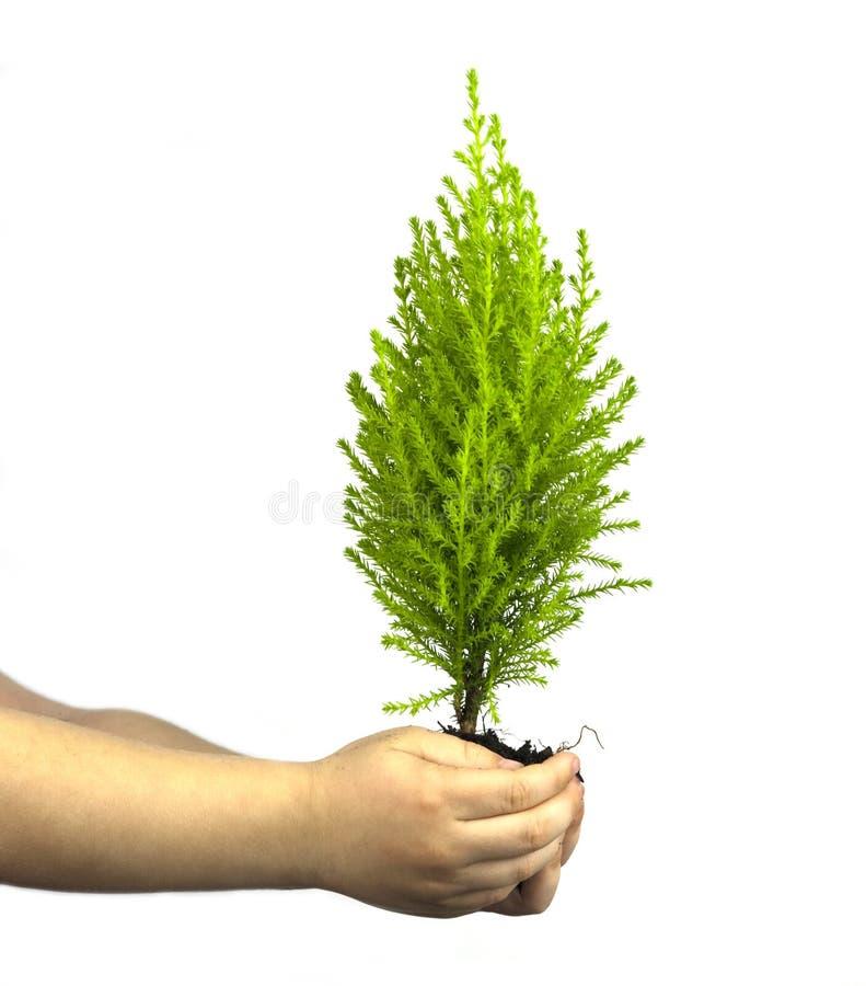 Childs übergibt das Anhalten des Zypresse-Kiefer-Schösslings stockfotografie