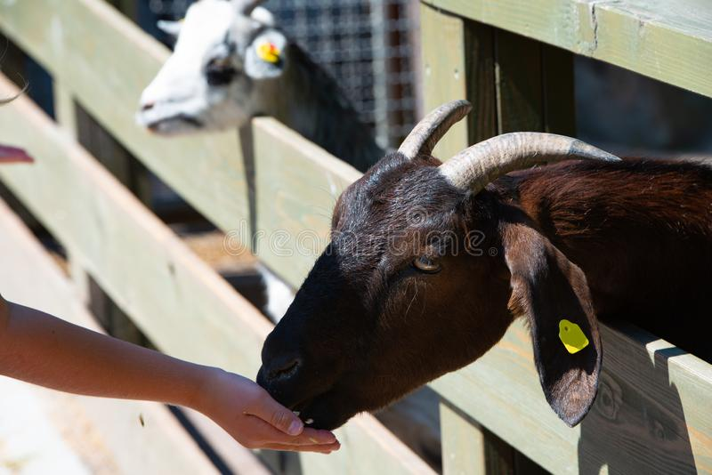 Childs hand feed goat. In animal park stock photography