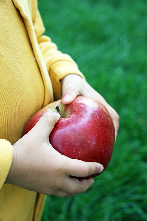 Childs hands with big freshly harvested apple. royalty free stock photo