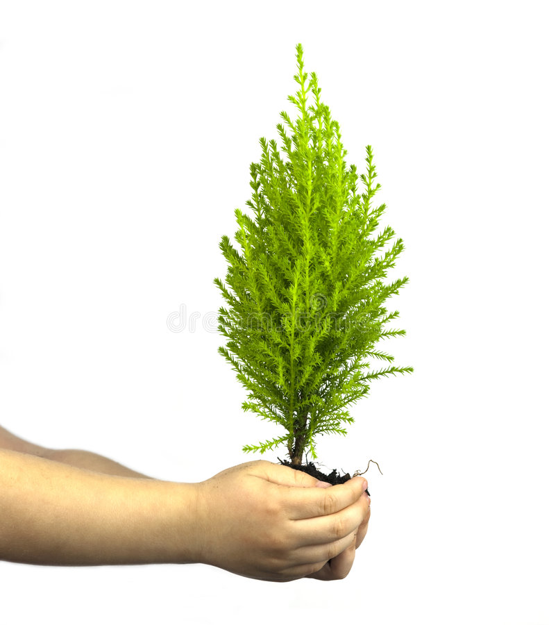 Childs Hands Holding Cypress Pine Tree Sapling stock photography