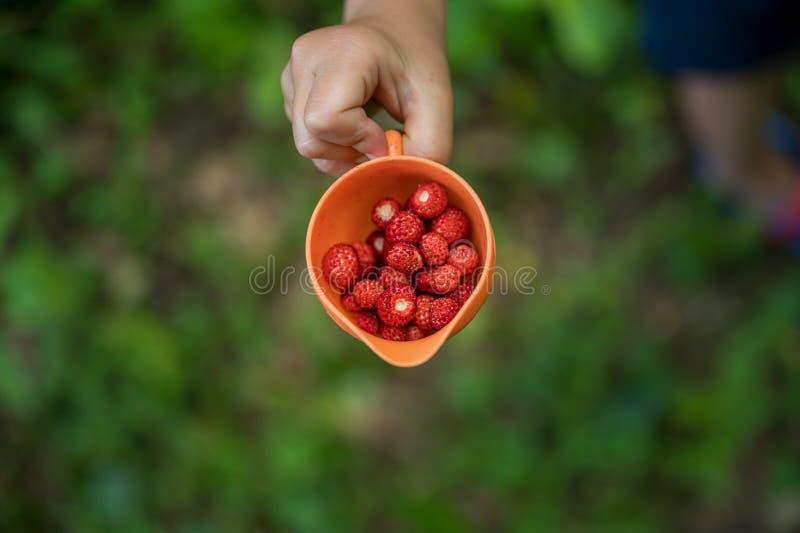 Childs ręka trzyma pomarańczową filiżankę dzikie truskawki pełno zdjęcie stock