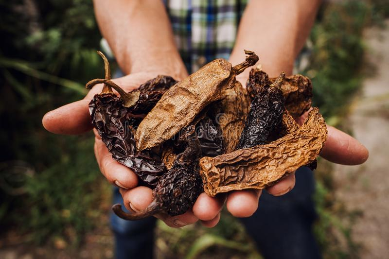 Chile Chipotle, mexican dried chili pepper, Assortment of chili peppers in farmer Hands in Mexico royalty free stock images
