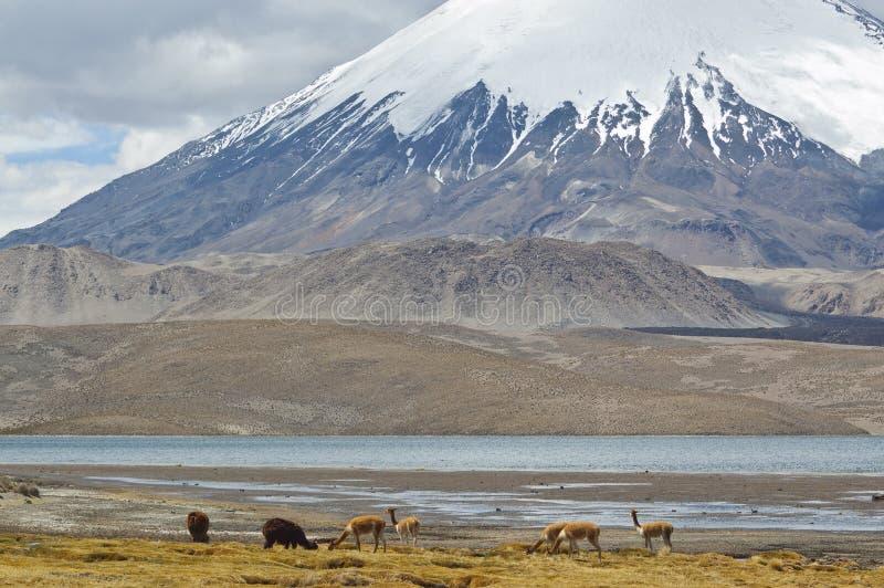 Chile Lauca Park Narodowy Obrazy Stock