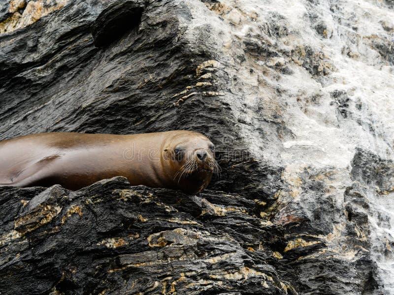 Chile-Seelöwe atacame wild lebende Tiere stockbild