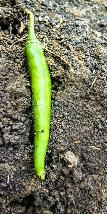 Chile verde en la tierra foto de archivo