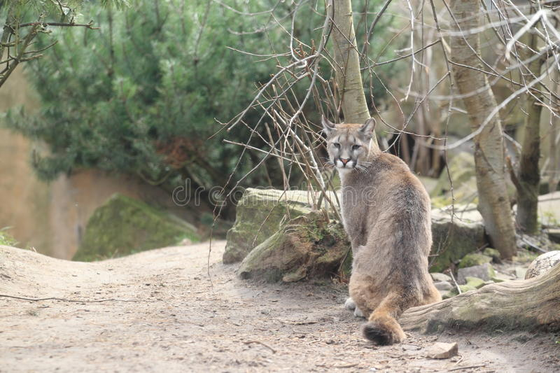 Chilean cougar. Sitting on the soil royalty free stock photography