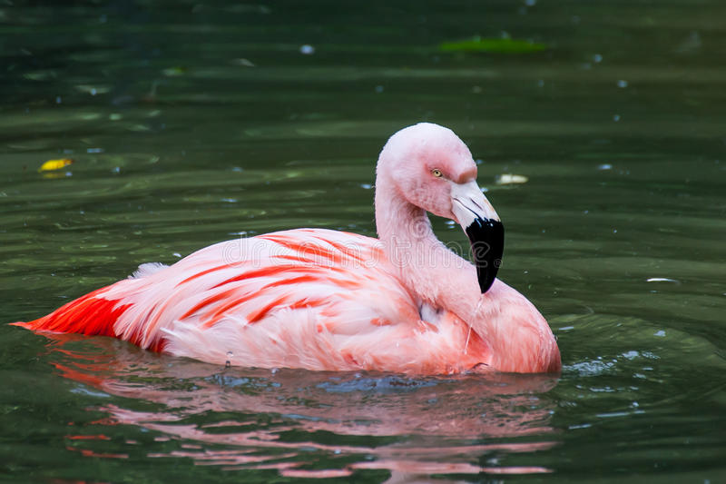 Chilean Flamingo. A Chilean Flamingo glides across the water royalty free stock images