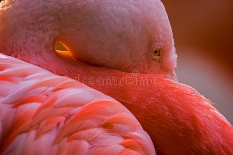 Chilean flamingo. A chilean flamingo hiding its beak. Phoenicopterus chilensis royalty free stock images