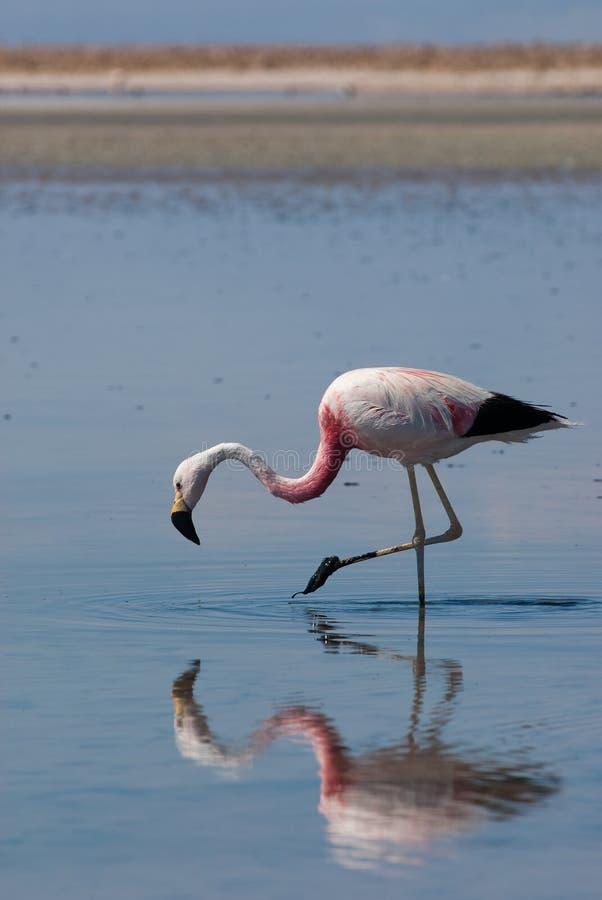 Free Chilean Flamingo In Salar De Atacama Royalty Free Stock Image - 11939226