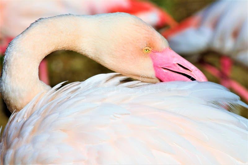 Chilean Flamingo at the Phoenix Zoo, Arizona Center for Nature Conservation, Phoenix, Arizona, United States stock photos