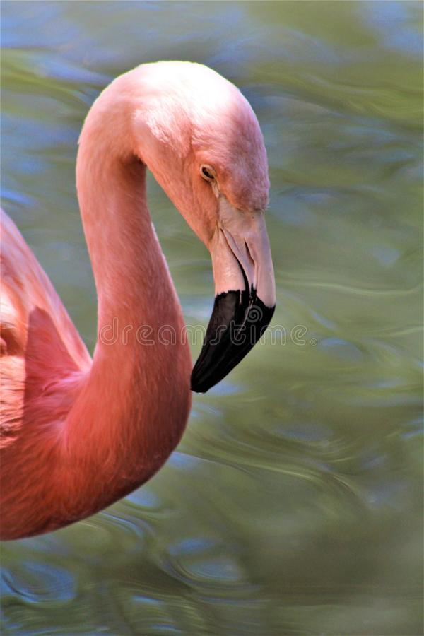 Chilean Flamingo at the Phoenix Zoo, Arizona Center for Nature Conservation, Phoenix, Arizona, United States. Chilean flamingo at the Phoenix Zoo, Center for stock photo