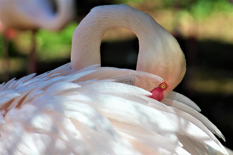 Phoenix Zoo, Arizona Center for Nature Conservation, Phoenix, Arizona, United States. Chilean flamingo at the Phoenix Zoo, Center for Nature Conservation royalty free stock photo