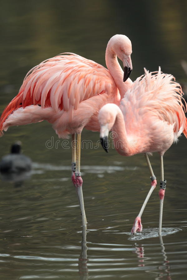 Chilean flamingo. View of Chilean flamingos standing in water royalty free stock image